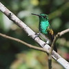 2017_ snowy-bellied hummingbird_ Torti_Darien_IMG_9331