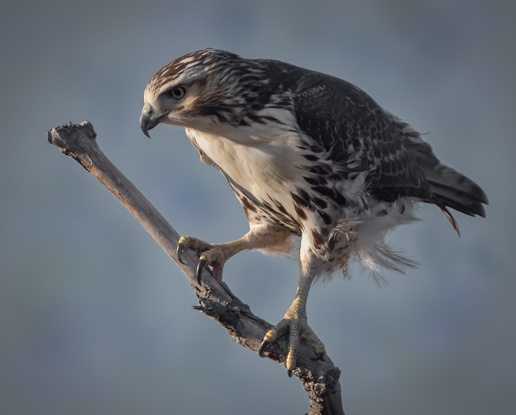 Red-tailed juvenile hawk, on branch