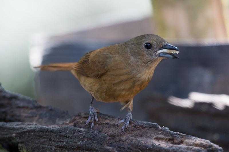 19-Sept Brazil Birds-6580.JPG