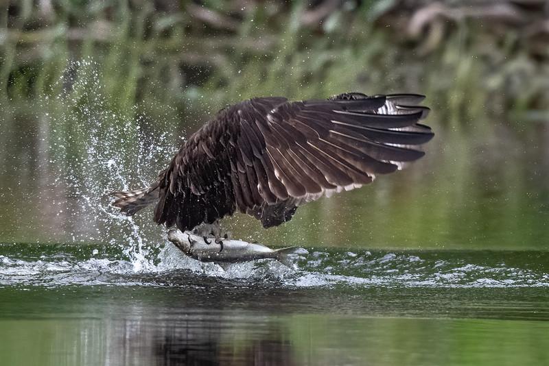#1627 Osprey