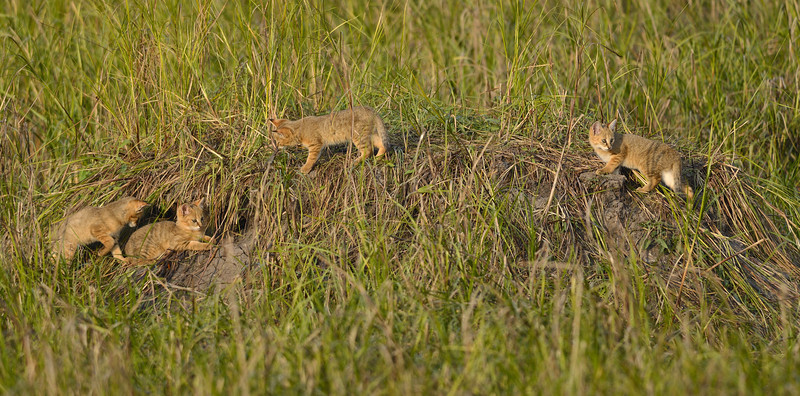 Jungle-Cat-Kittens-02.jpg