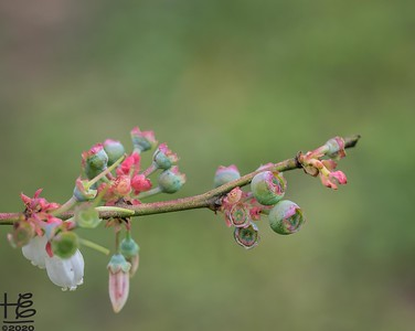 Blueberries: from blossoms to berries