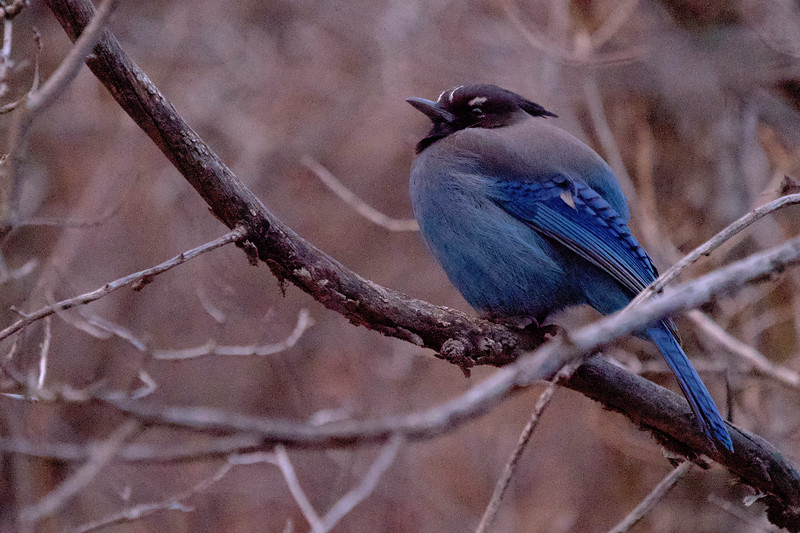 Steller's Jay in Utah
