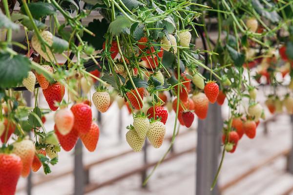 Angus Fruits