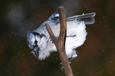 Blue Jays 2019