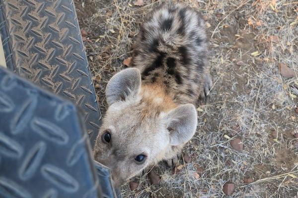 Hyena Mashatu Botswana 2017