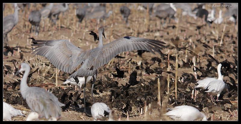 Sandhill Crane chasing red-winged blackbirds away, Bosque Del Apache, Socorro, New Mexico, November 2010