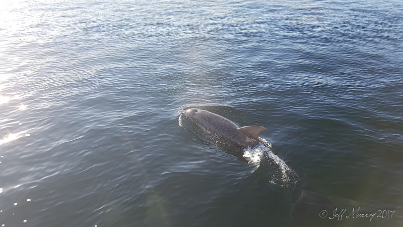 Dophins Circling the boat