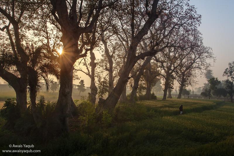 Man walks through wheat fields under huge Bombax ceiba trees or sumbul trees.