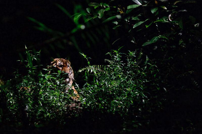 Tiger, Singapore Zoo