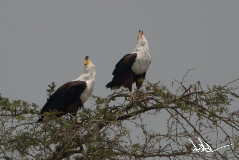 African Fish Eagles-4.jpg