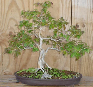 BROWARD BONSAI 2005-2007