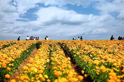The Flower Fields - Carlsbad