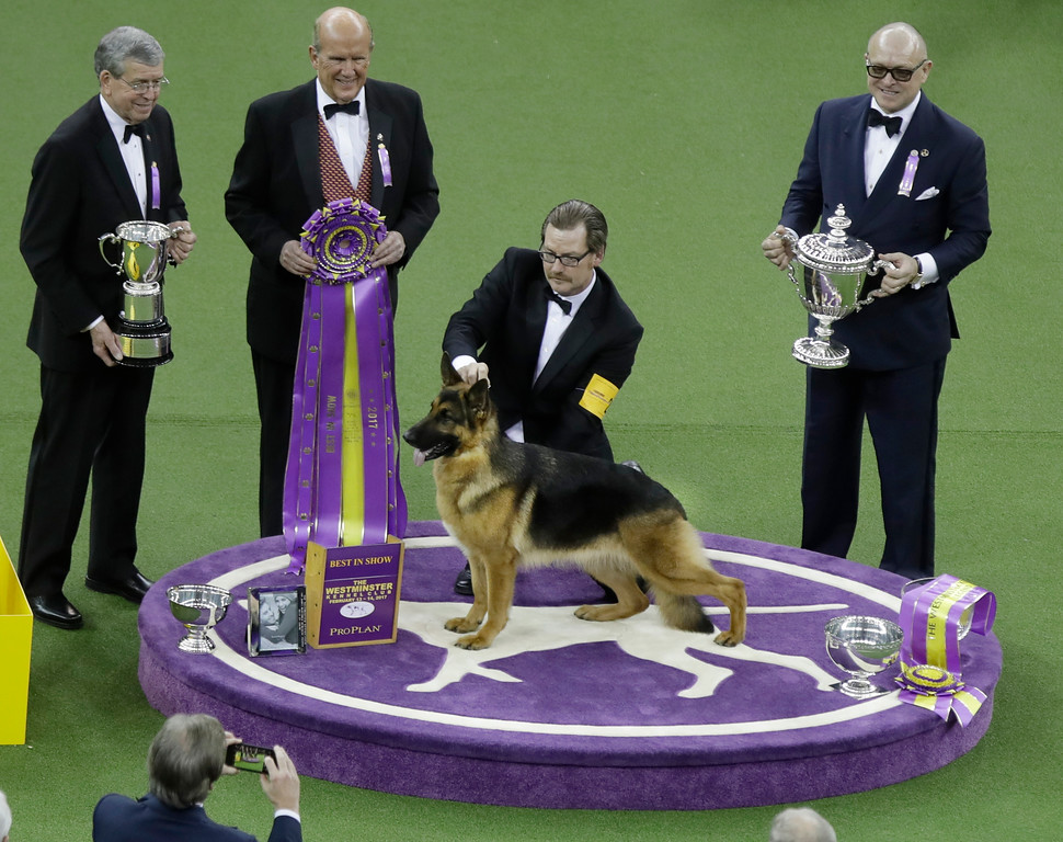 . A handler poses for photographs with Rumor, a German shepherd, after Rumor won Best in Show at the 141st Westminster Kennel Club Dog Show on Tuesday, Feb. 14, 2017, in New York. (AP Photo/Frank Franklin II)