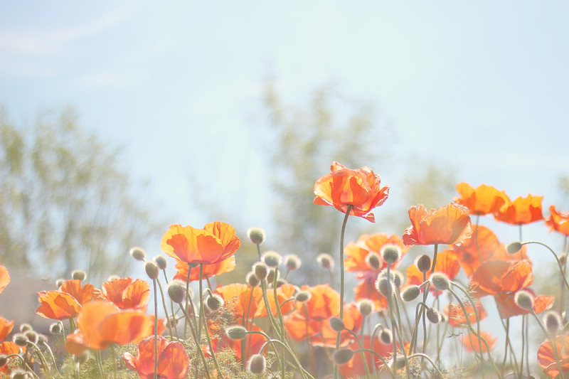 Poppies and Sunshine...