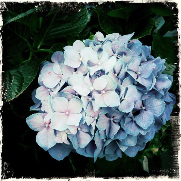 Flower hydrangea iPh 718_0664.JPG