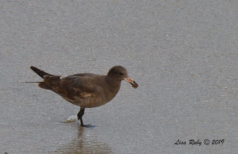 First year Heerman's Gull  - 3/10/2019 - La Jolla Cove