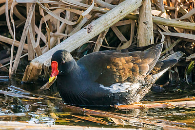 Common moorhen - Liejukana