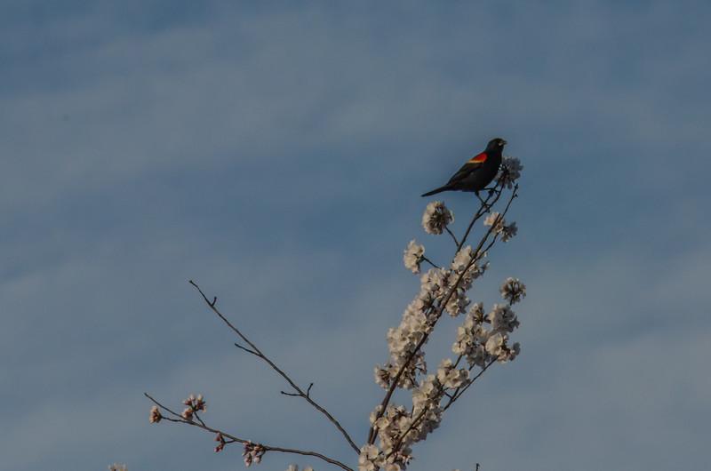 Cherry Blossom Tidal Basin Early Morning -37.jpg