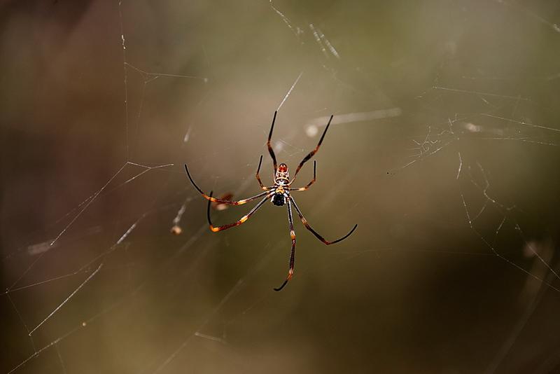 Coastal golden orb-weaver Spider