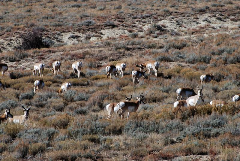 Bunch of pronghorns