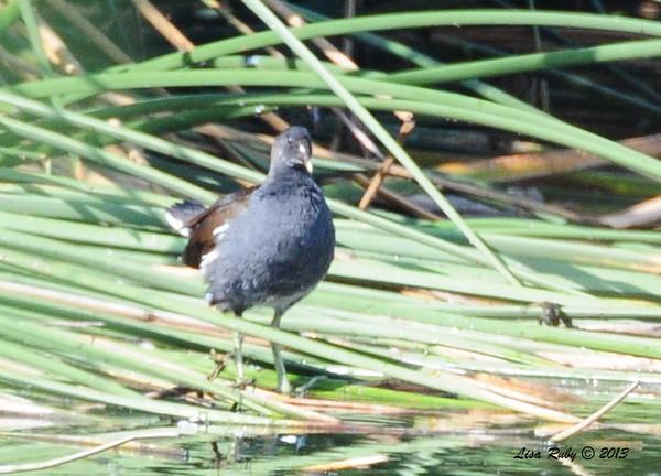 Common Gallinule - 10/12/13 - Whelan Lake
