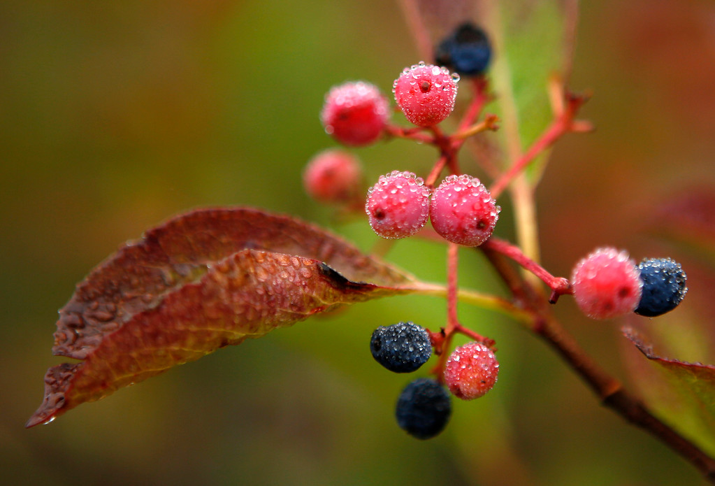 . In this Monday, Sept. 18, 2017 photo morning dew covers berries in Bartlett, N.H. Despite forecasts for brilliant foliage throughout the Northeast this year, long-time leaf watchers say the leaves this fall are dull and weeks behind schedule in their turn from green to the brilliant hues of autumn. (AP Photo/Robert F. Bukaty)