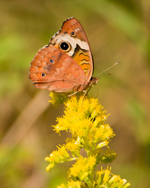 Junonia coenia - Common Buckeye - Fall coloration