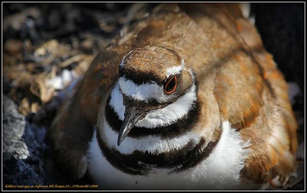 Killdeer (Charadrius vociferus)