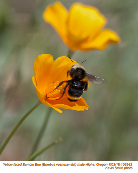 Yellow Faced Bumble Bee M106943.jpg