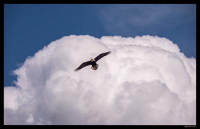 Bald Eagle-Milpitas 4-11-17