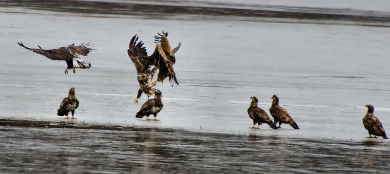 Juvi Eagles Rough-housing Mohawk River 3-2012