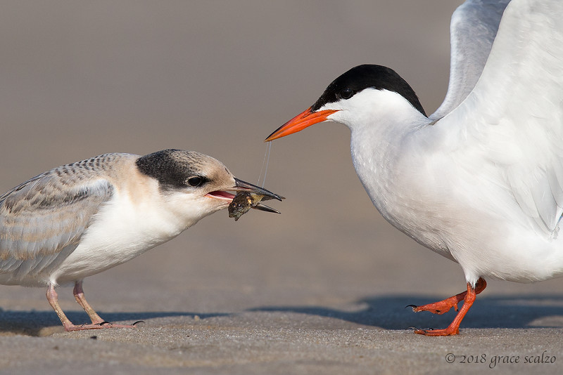Common Tern Adult giving Juvenile a Fish