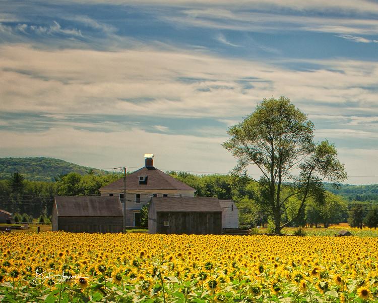 Sunflower-0124-Edit.jpg