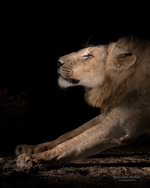 African Lion, Sabi Sands (EP), SA, Oct 2016-1.jpg
