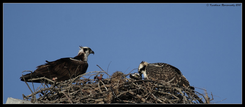 Osprey nest with 2 fledgelings, Robb Field, San Diego River, San Diego County, California, May 2010