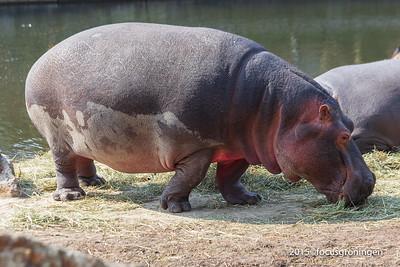 Dieren Nijlpaarden