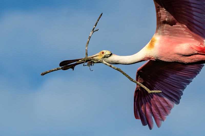 Roseate Spoonbill with nesting material - fly by