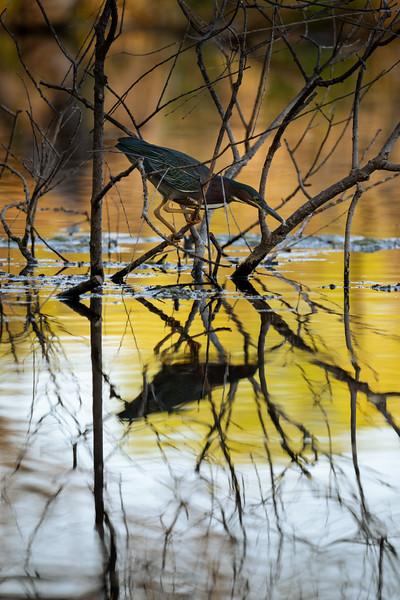 green heron fishing on a lake