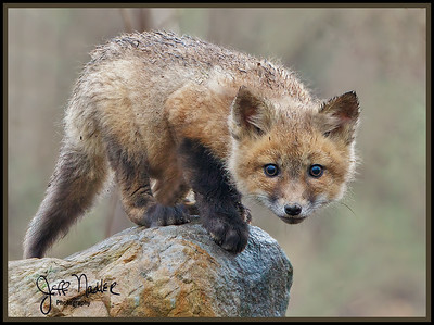 Feature Gallery: Red Fox Family