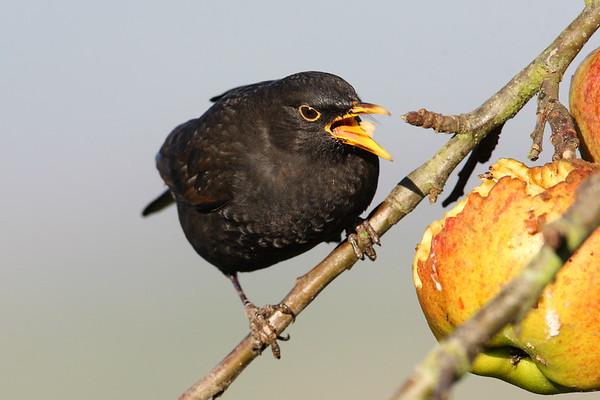 Garden Birds in Winter
