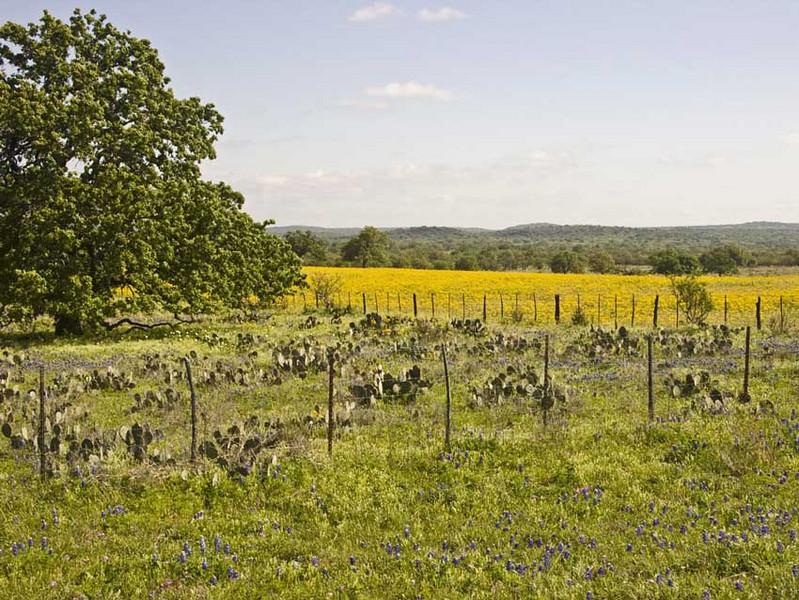 Oak-Blubon-and-Yellow-2.jpg