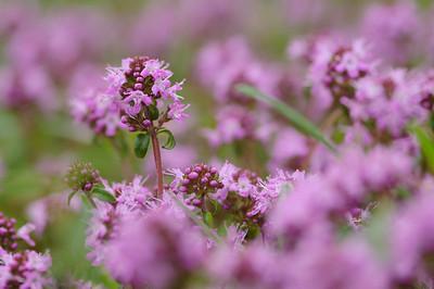 medicinal plants - Heilpflanzen