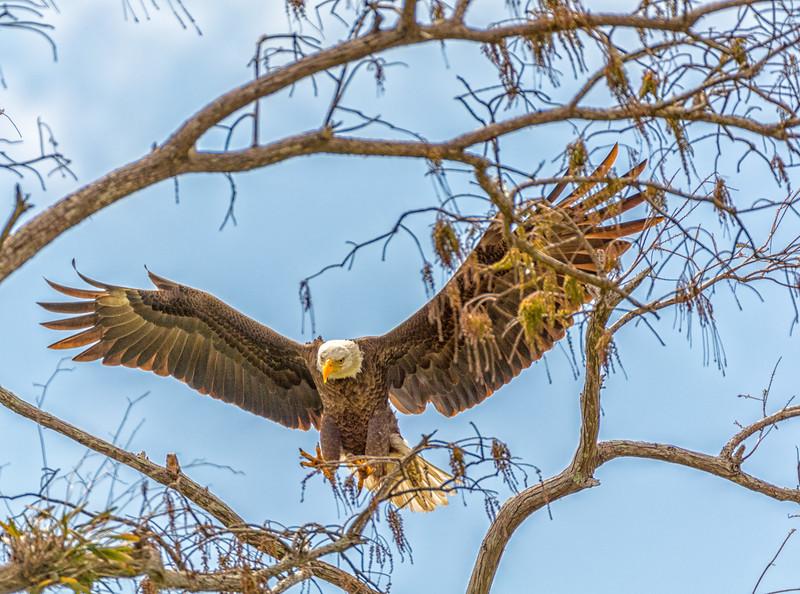 2017 Bald Eagle Chick-109.jpg