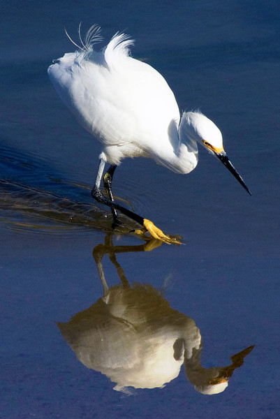 Snowy egret reflecting in Brays Bayou, Houston