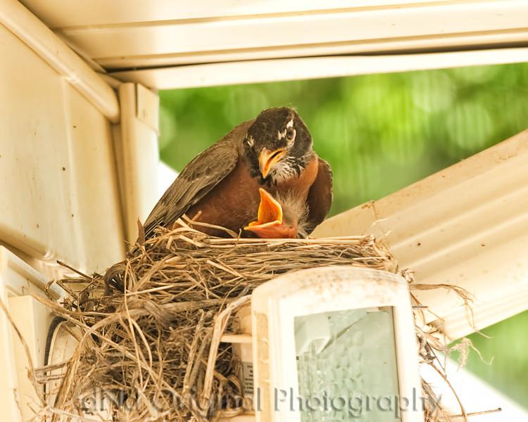 018 Baby Robins Spring 2013.jpg