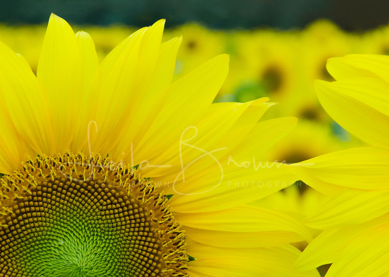 Sunflower close-up.jpg