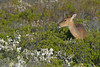whitetail female deer feeding among wax myrtle or bay berry bushes and beach plumb plants