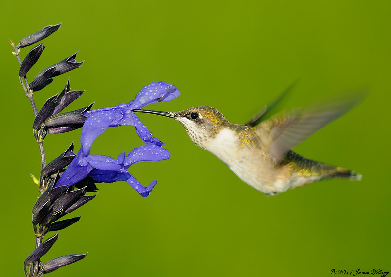 Rubythroated Hummingbird, Archilochus colubris