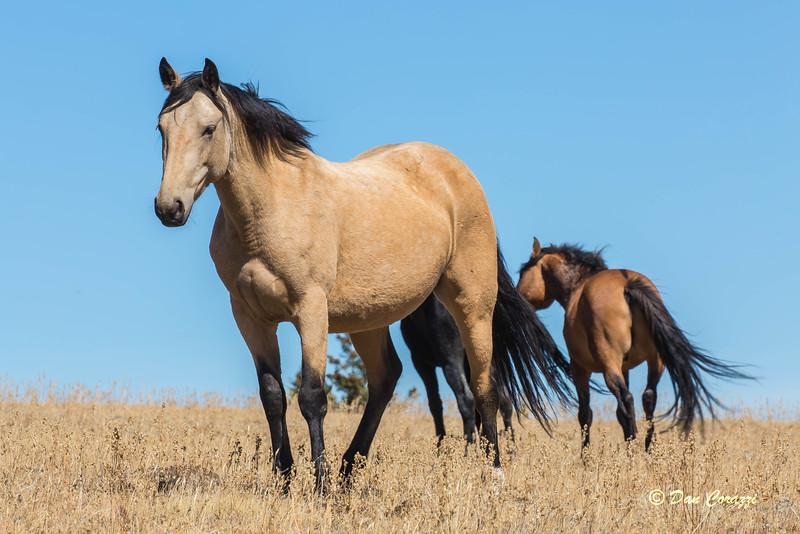 Pryor Mountain Mustang .jpg